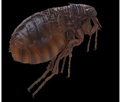 brighton flea control